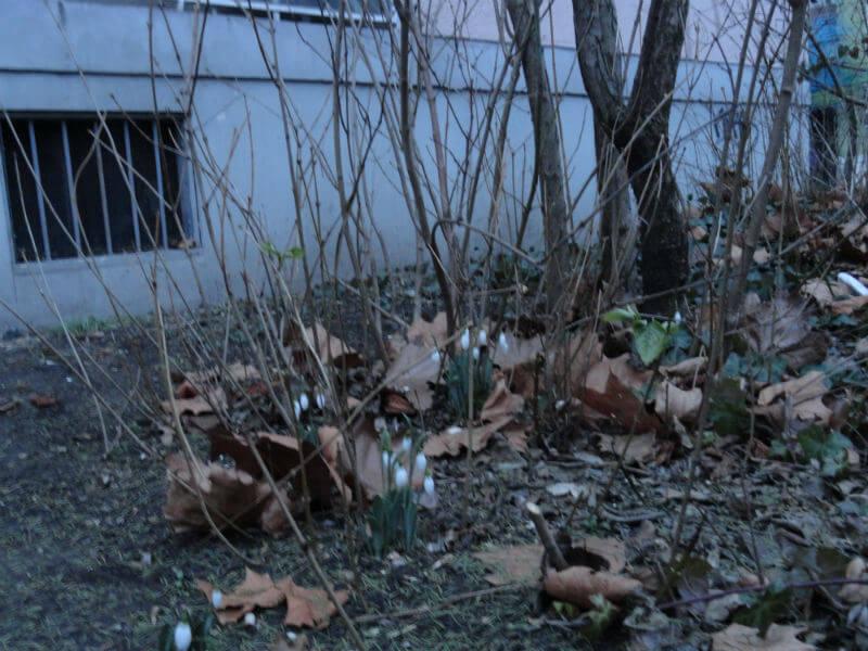 Hóvirág a lakótelepen /Fotó: Szána Miklós/