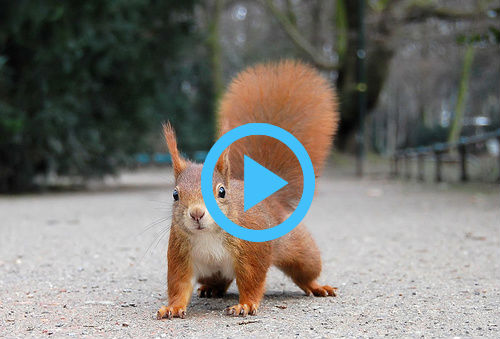 Vörös mókus a lakótelepen